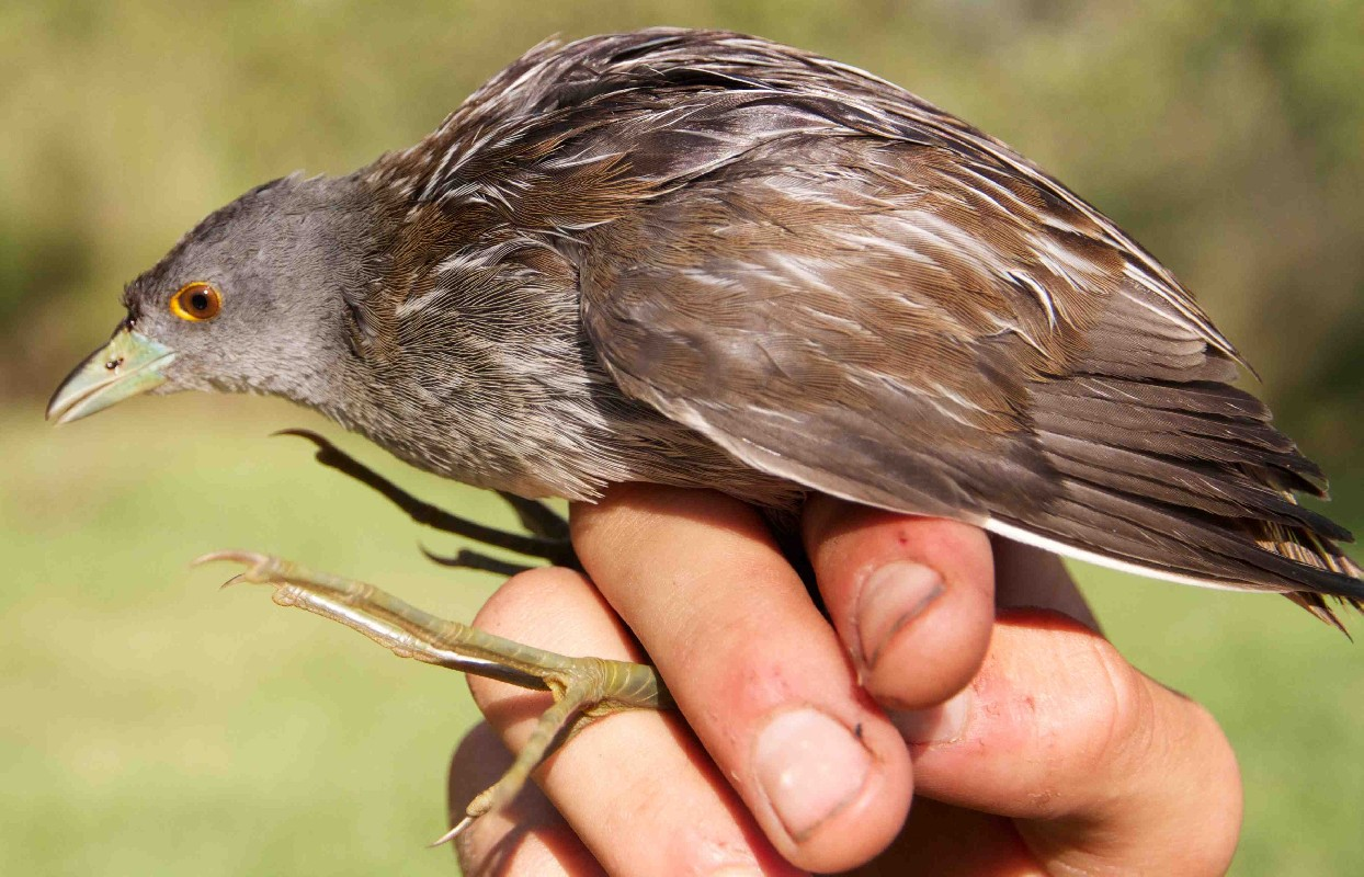 Injured bird found in Akagera National Park.