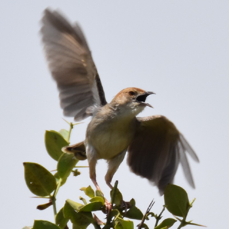 Male singing Cisticola displaying