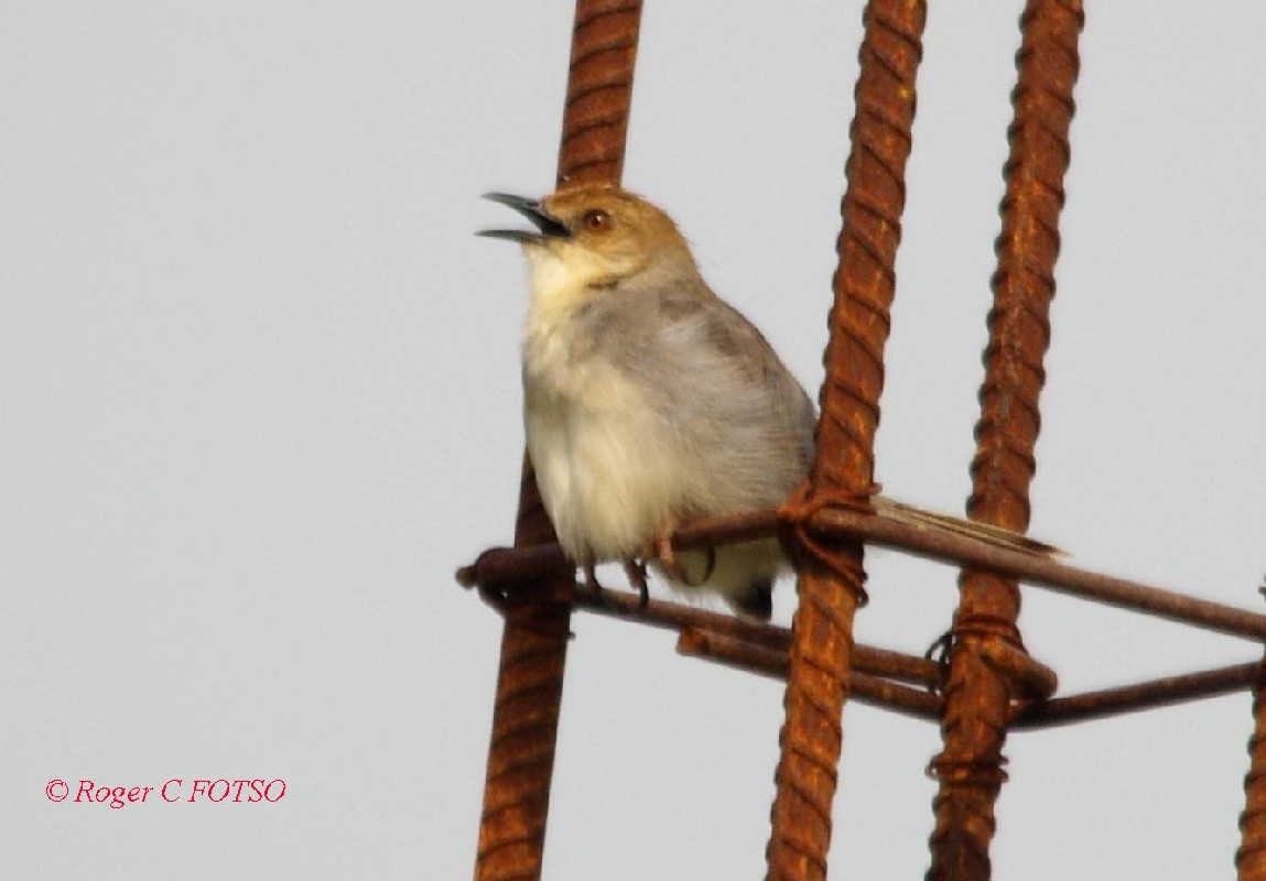 Chattering Cisticola
