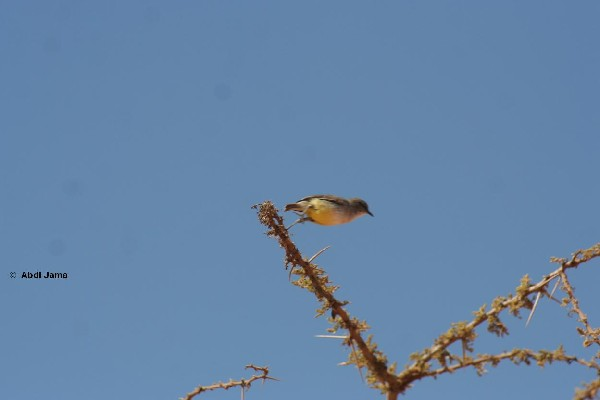 A Yellow-Bellied Eremomela in mid-flight.