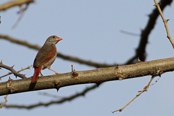 Red-billed Pytilia - male