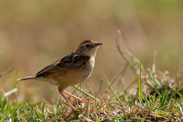 Pectoral-patch Cisticola - ssp brunnescens