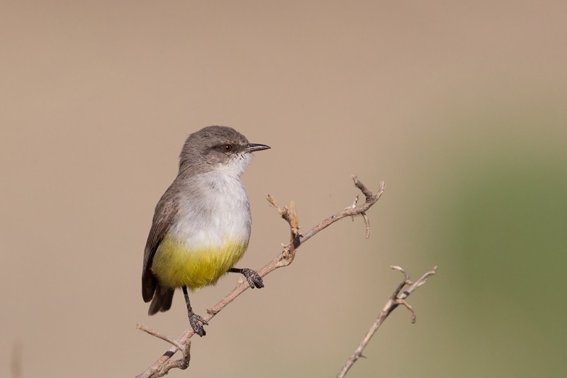 Yellow-bellied Eremomela - ssp Griseoflava
