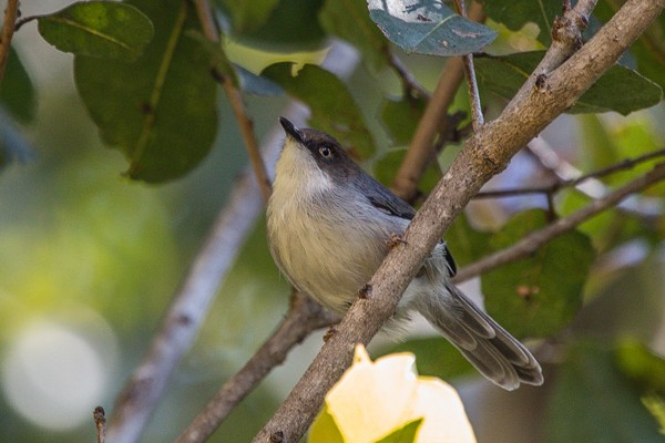 brown-headed apalis