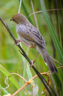 Chirping Cisticola seen well during the 2005 Birdquest Angola tour