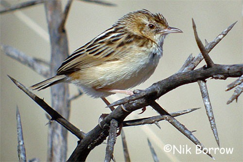 Pectoral-patch Cisticola