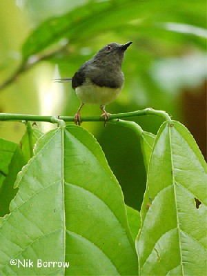 Buff-throated Apalis nominate race