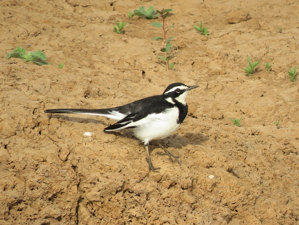 African Pied Wagtail on the bank of the river Gambia