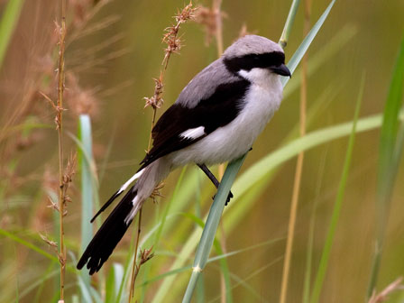 Grey_backed_Fiscal_Uganda