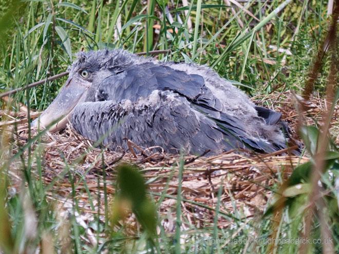 Shoebill_chick_Zambia