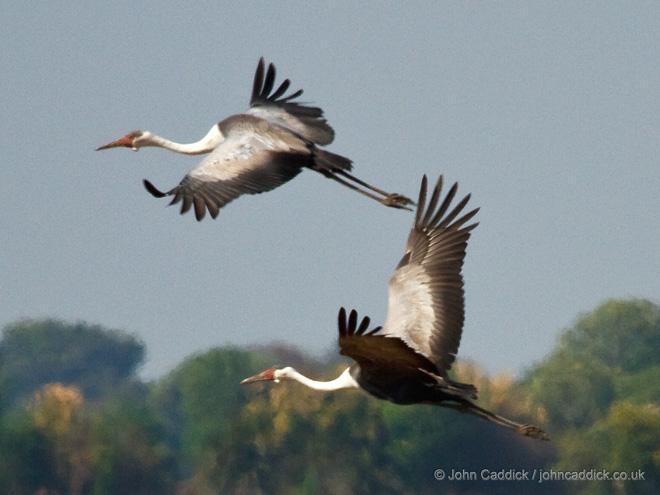 Wattle_Cranes_Zambia