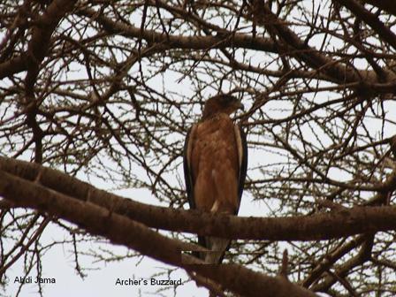 Archers_Buzzard_Somalia