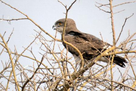 Beaudouins snake eagle - photo#25