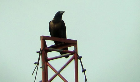 Indian_House_Crow_Benin