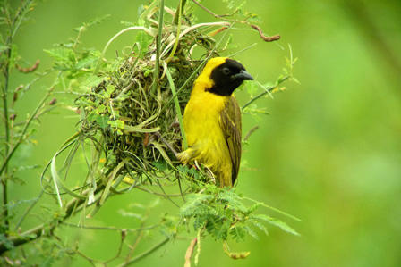Slender_billed_Weaver_Benin