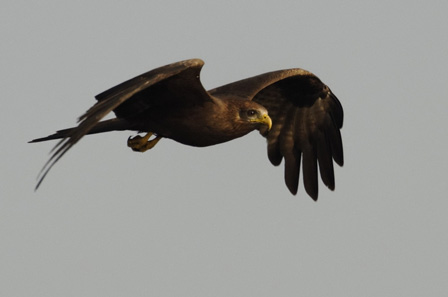 Benin_Yellow_billed_Kite