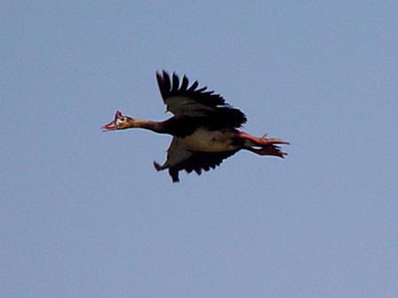 Spur_winged_Goose_in_flight_Burkina_Faso