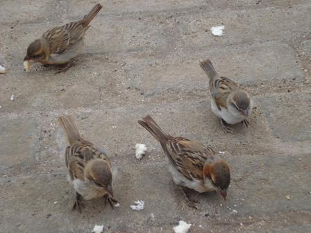 Iago_Sparrows_Cape_Verde