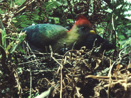 Bannermans_Turaco_Cameroon