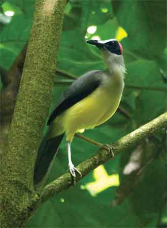Grey_necked_Picathartes_Cameroon