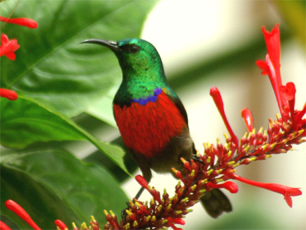 Northern_Double_collared_Sunbird_Cameroon
