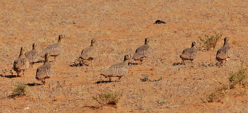 Chad_Crowned_Sandgrouse