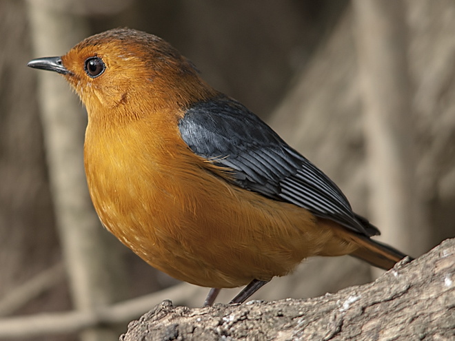 Red_capped_Robin_Chat