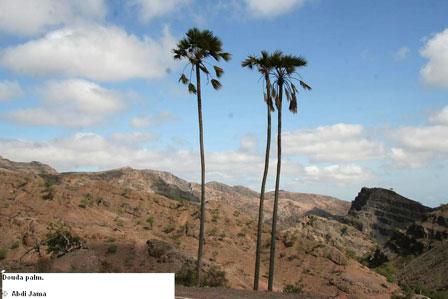 Djibouti_Douda_Palm