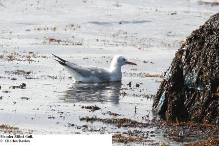 Djibouti_Slender_billed_Gull