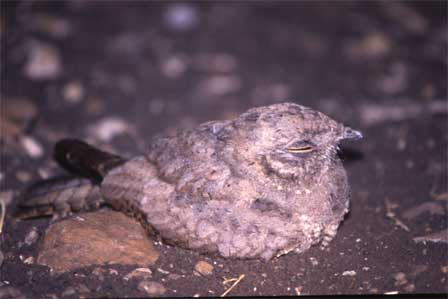 Star_Spotted_Nightjar_Ethiopia