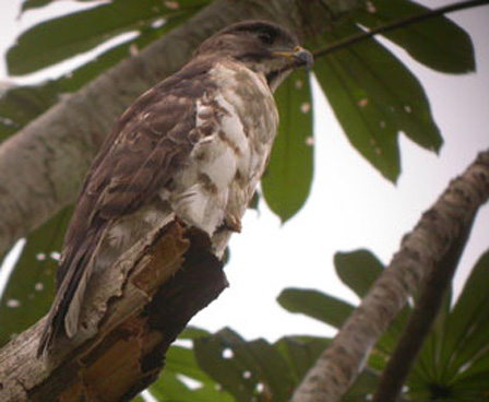 Congo_Serpent_Eagle_Gabon