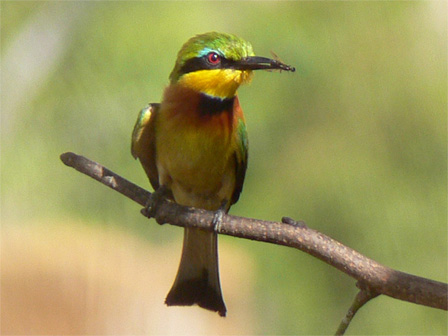 Little_Bee_eater_Gabon