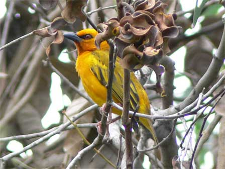 Orange_Weaver_Gabon