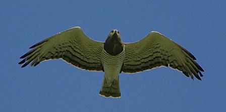 Beaudouins snake eagle - photo#19