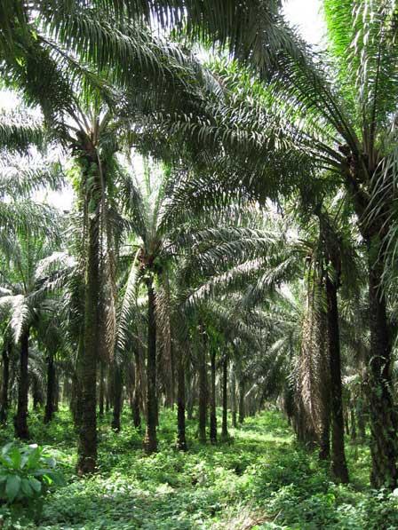 Oil_Palm_Plantation_Ghana