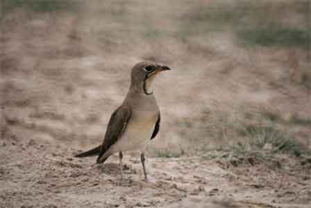 Collared_Pratincole_Amboseli_National_Park_Kenya