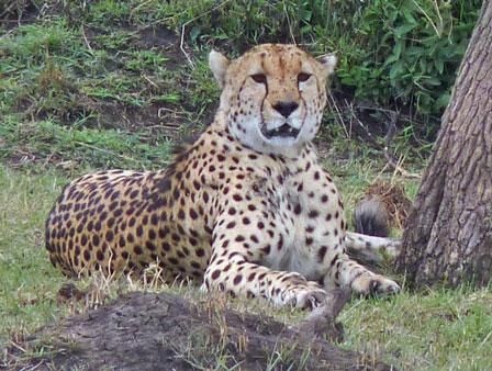 Cheetah_Masai_Mara_Kenya