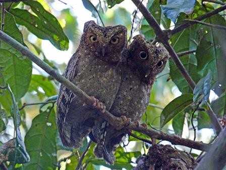 Sokoke_Scops_Owl_Kenya