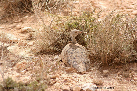 Little_Brown_Bustard_Somalia