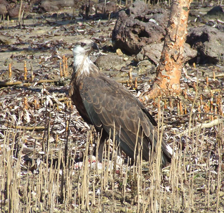 Madagascar_Fish_Eagle