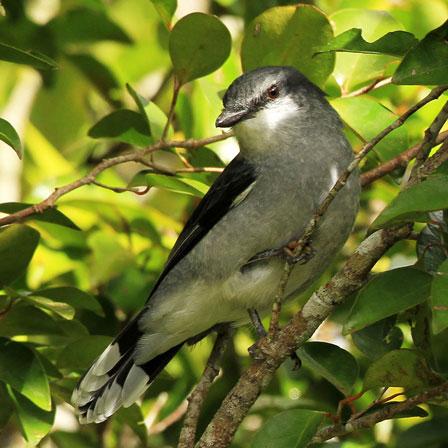 Mauritius_Cuckoo_Shrike