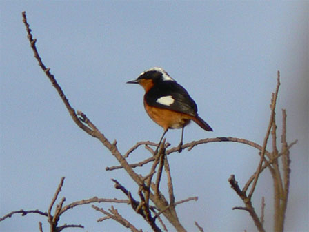 Moussiers_Redstart_Morocco