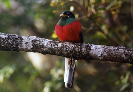 Narinas_Trogon_South_Africa