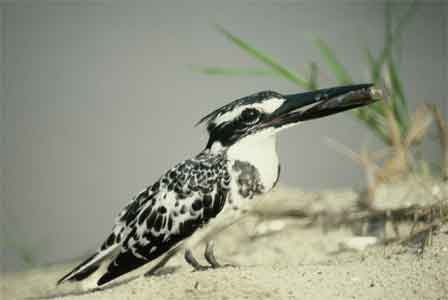 Pied_Kingfisher_Nigeria