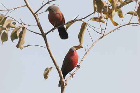 Rock_Firefinch_Nigeria