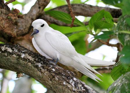 White_Tern_Rodrigues