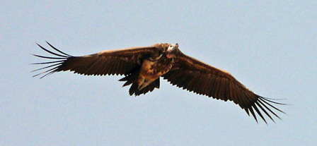 Lappet_faced_Vulture_Senegal