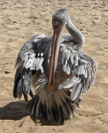 Pink_backed_Pelican_Senegal