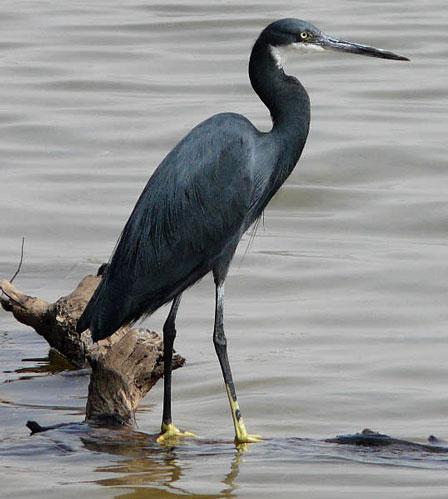 Western_Reef_Heron_Senegal
