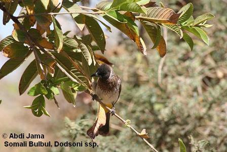 Dodsons_Bulbul_Somalia
